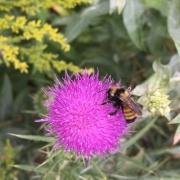 Pollinisateurs butinant un chardon
